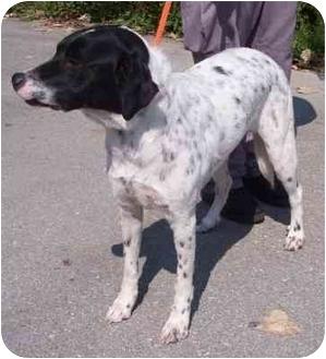 Pointer/Dalmatian Mix Dog for adoption in Overland Park, Kansas - Louie