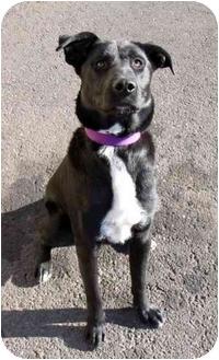 Labrador Retriever Mix Dog for adoption in Phoenix, Oregon - Simpson