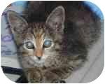 Domestic Shorthair Kitten for adoption in Aldie, Virginia - Penny
