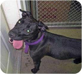 Labrador Retriever/Terrier (Unknown Type, Medium) Mix Dog for adoption in Marseilles, Illinois - Payton