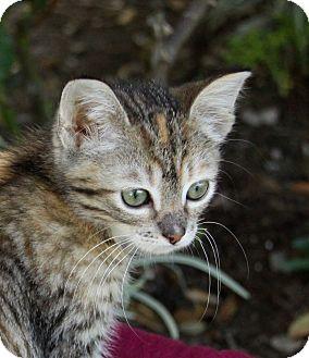 Domestic Shorthair Kitten for adoption in Newport Beach, California - NANETTE