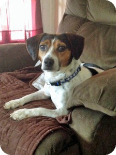 Beagle Dog for adoption in Waldorf, Maryland - Murphy George
