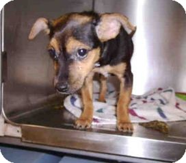 Fox Terrier (Wirehaired)/Chihuahua Mix Puppy for adoption in Yuba City, California - 12/12 Unnamed