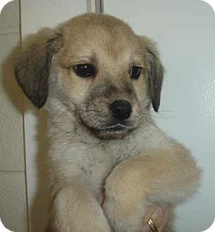 German Shepherd Dog Mix Puppy for adoption in Old Bridge, New Jersey - Icon