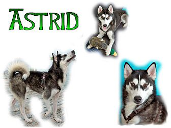 Siberian Husky Dog for adoption in Seminole, Florida - Astrid