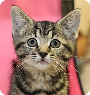 Domestic Shorthair Kitten for adoption in Winston-Salem, North Carolina - Shortbread