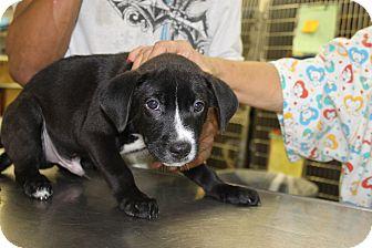 Labrador Retriever Mix Puppy for adoption in Waldorf, Maryland - Han