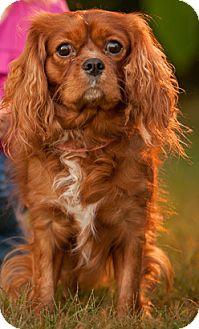 Cavalier King Charles Spaniel Dog for adoption in Newark, Delaware - Prince Ruffers
