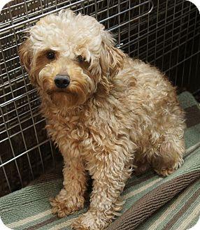 Goldendoodle Dog for adoption in Boulder, Colorado - Paige-PENDING