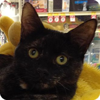 Domestic Shorthair Kitten for adoption in Weatherford, Texas - Petunia