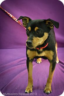 Miniature Pinscher Mix Dog for adoption in Broomfield, Colorado - Minnie