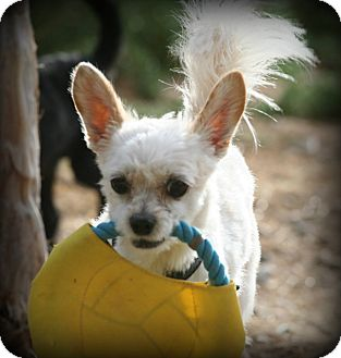 Maltese/Terrier (Unknown Type, Small) Mix Dog for adoption in Las Cruces, New Mexico - Buster