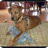 Adopt A Pet :: Honey Boy (IN NEW ENGLAND) - Brattleboro, VT