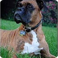 Adopt A Pet :: Simba - Grafton, MA