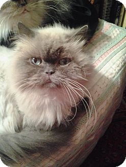Himalayan Cat for adoption in Columbus, Ohio - Grayson