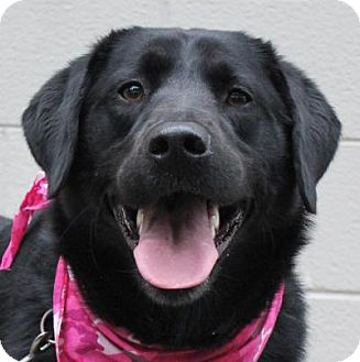 Labrador Retriever Dog for adoption in Atlanta, Georgia - Bailey