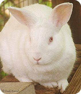 Florida White Mix for adoption in Santa Barbara, California - Huck