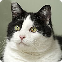 Domestic Shorthair Cat for adoption in Blackstock, Ontario - Franklin
