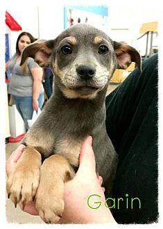 Standard Schnauzer Mix Puppy for adoption in Odessa, Texas - Garin