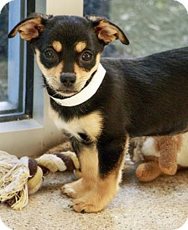Chihuahua/Dachshund Mix Puppy for adoption in Gahanna, Ohio - ADOPTED!!!   Bengal
