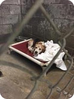 Beagle Mix Dog for adoption in Alpharetta, Georgia - Dabo