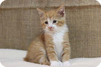 Manx Kitten for adoption in Midland, Michigan - Rafiki
