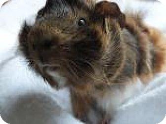Guinea Pig for adoption in Edmonton, Alberta - Archie
