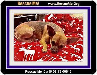 Chihuahua Dog for adoption in West Los Angeles, California - Yuma