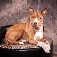 Pit Bull Terrier/Hound (Unknown Type) Mix Dog for adoption in Elizabethtown, Pennsylvania - Annabelle Mumma