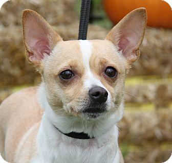 Chihuahua Mix Dog for adoption in Marietta, Ohio - Thalia