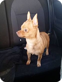 Chihuahua Dog for adoption in Huntley, Illinois - Skittles