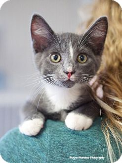 Domestic Shorthair Kitten for adoption in Homewood, Alabama - Rocky