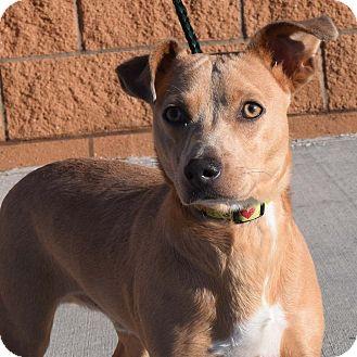 Dachshund/Terrier (Unknown Type, Medium) Mix Dog for adoption in Minneapolis, Minnesota - Harvey