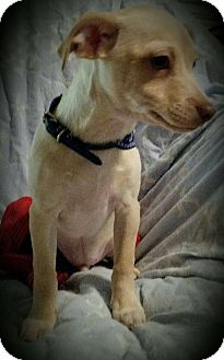 Chihuahua Mix Puppy for adoption in San Antonio, Texas - Harry
