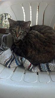 Calico Cat for adoption in Williston, Florida - Glory