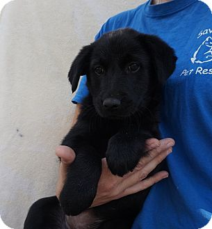 Labrador Retriever/Golden Retriever Mix Puppy for adoption in Oviedo, Florida - Saffron