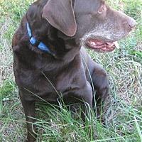 Labrador Retriever/Labrador Retriever Mix Dog for adoption in Huntsville, Alabama - Duke
