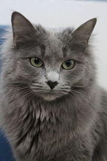 Domestic Longhair Cat for adoption in Colorado Springs, Colorado - Day