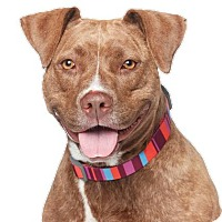 Adopt A Pet :: AJ - Los Angeles, CA