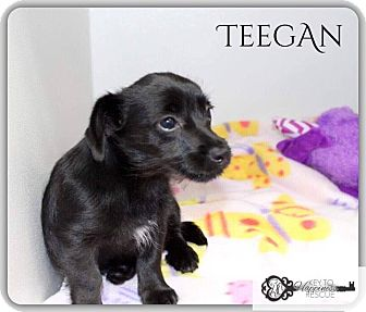 Dachshund/Terrier (Unknown Type, Small) Mix Puppy for adoption in DeForest, Wisconsin - Teegan