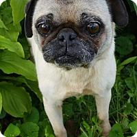 Adopt A Pet :: Squishy-ADOPTION PENDING - Bridgeton, MO