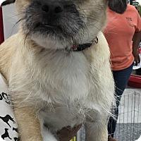 Adopt A Pet :: Chapis - Tucson, AZ