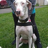 Adopt A Pet :: Sabrina, A Harlequin Great Dane - Arlington, WA