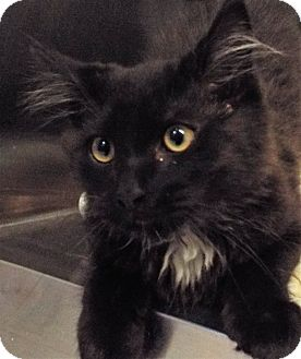 Domestic Longhair Cat for adoption in Grants Pass, Oregon - Mr Chicken
