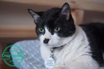 Domestic Shorthair/Domestic Shorthair Mix Cat for adoption in Sherwood Park, Alberta - Mouse