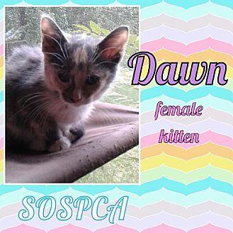 Calico Kitten for adoption in Zanesville, Ohio - Dawn