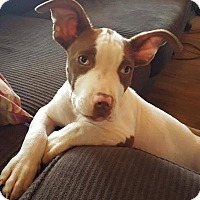 Adopt A Pet :: Penelope - Painted Post, NY