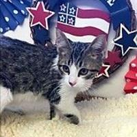 Domestic Shorthair/Domestic Shorthair Mix Cat for adoption in Brownwood, Texas - Adonis
