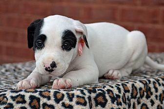 Labrador Retriever/Border Collie Mix Puppy for adoption in Allentown, Pennsylvania - Sansa