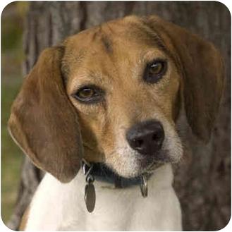 Beagle Dog for adoption in Westfield, New York - Norton